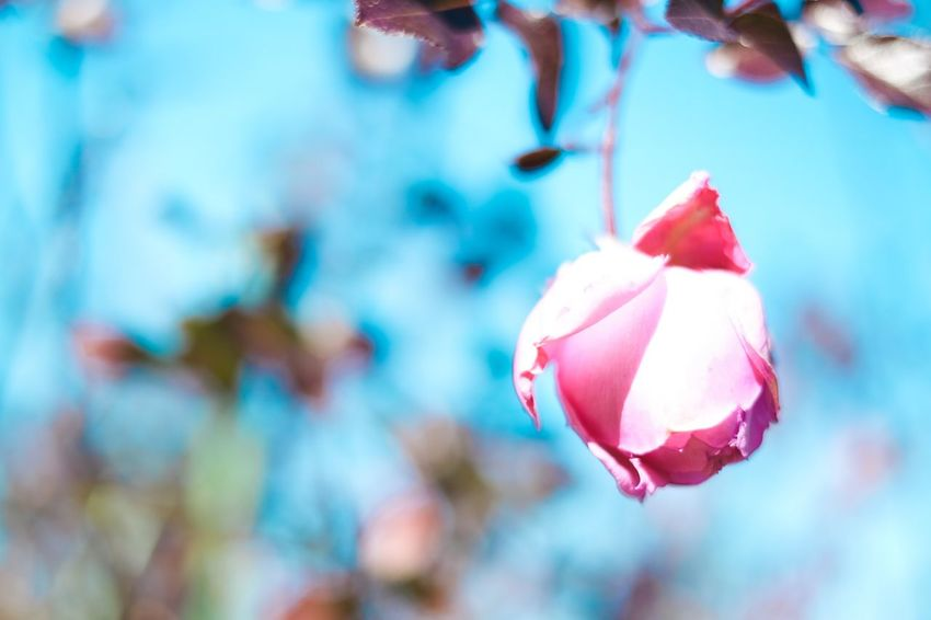 Fujifilm Flower Beauty In Nature Nature Petal Growth Fragility Close-up Flower Head Plant Day
