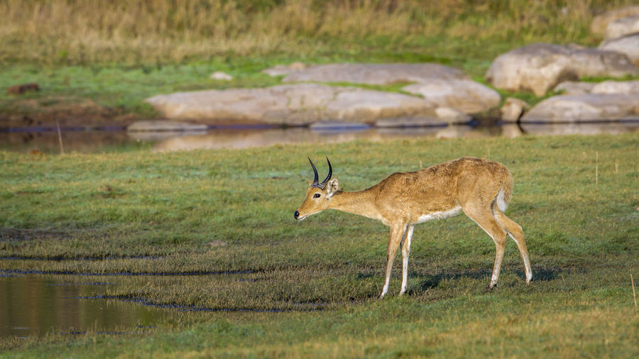 Side view of deer standing by lake on field