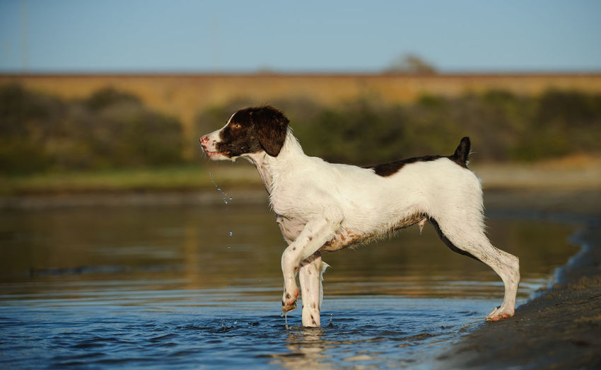 Brittany Spaniel dog Brittany Brittany Spaniel Animal Themes Day Dog Domestic Animals Mammal No People One Animal Outdoors Pets Photography Portrait Spaniel Water