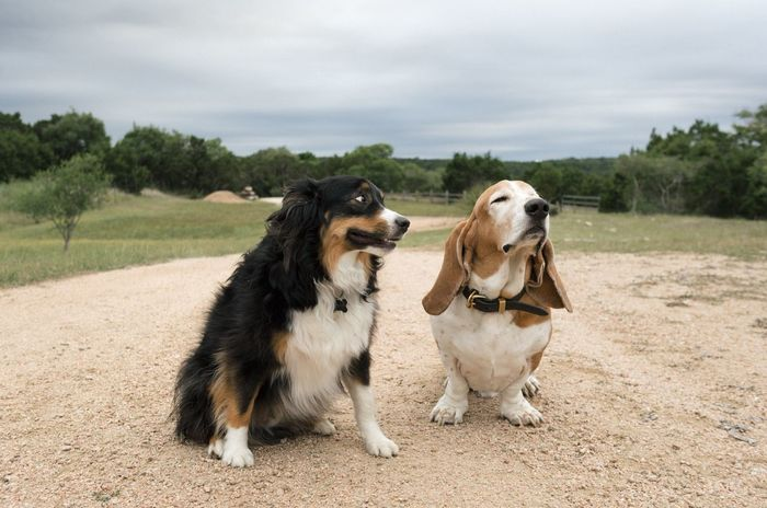 Dog Domestic Animals Pets Field Outdoors Nature Tree Buddies Pals Friends Besties Content Basset Hound Australian Shepherd  Open Spaces Land Two Dogs Dogs Posing Dog Friends Pets Are Family Dusty Happy Joy Peace Dirt Road