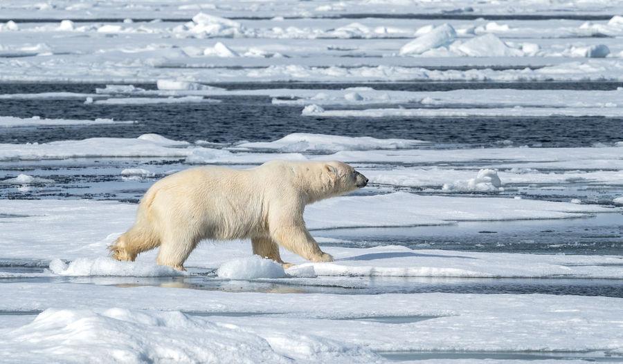 Polar Bear running over sea ice, Svalbard Cold Temperature Animal Mammal Animal Themes Animal Wildlife One Animal Animals In The Wild Bear Polar Bear Ice Water Sea Nature No People Outdoors Arctic Svalbard  Sea Ice Endangered Species