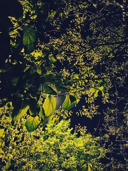 Leaf Nature Yellow Outdoors Growth Summer Tree Branch Beauty In Nature Light No People Night Lantern