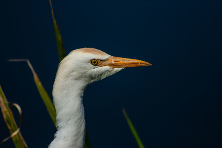 Close up of cattle egret