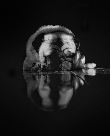 Reflection Studio Shot Black Background Animal Themes Indoors  Day Pug Dog Pet Pet Photography  Blackandwhite TheMinimals (less Edit Juxt Photography)