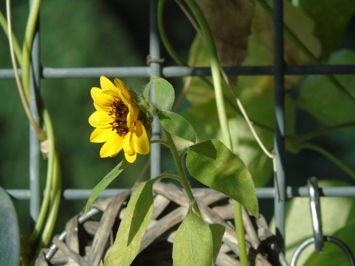 A Little Sunflower Also Small Things Are Wellcome Beauty In Nature Flower Head Good Morning Friends How Re You My Point Of View Yellow