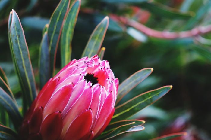 Flower Pink Color Flower Head Beauty Insect Leaf Red Close-up Plant Animal Themes Botanical Garden Plant Life In Bloom