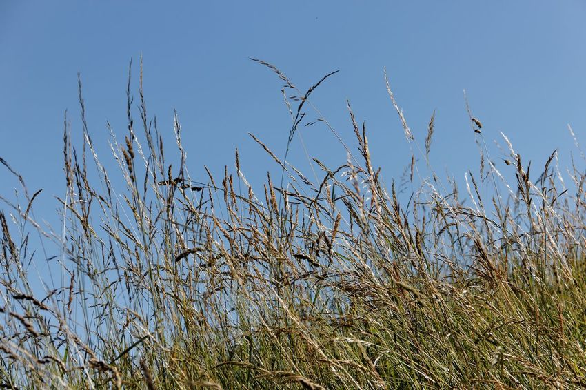 Beauty In Nature Blue Clear Sky Day Grass Growth Nature No People Outdoors Plant Sky