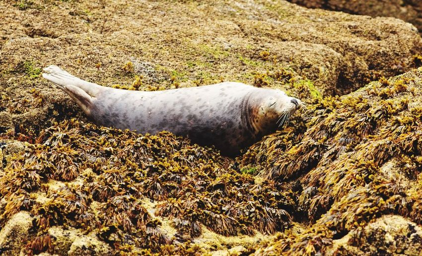 Grey seal basking on seaweed covered rocks Seaweed Rocks Sea Life Grey Seal Animals In The Wild No People Nature Animal Land Animal Wildlife Animal Themes One Animal Aquatic Mammal Mammal Seal Vertebrate