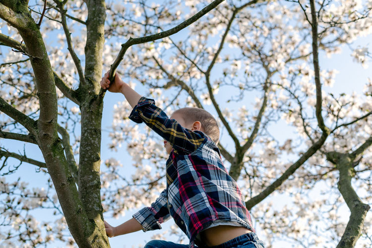 A boy climbs a blooming magnolia tree.