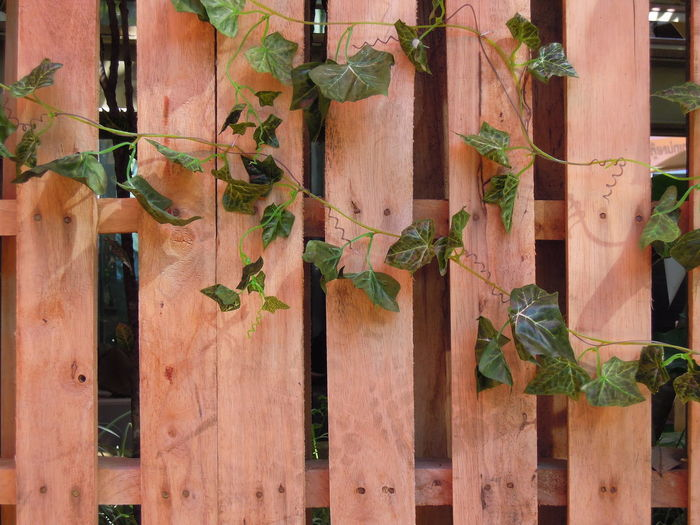 wood fence in garden Architecture Day Fence Garden Ivy Ivy Fence Ivy Leaves Leaf Nature Outdoors Park Plant Tree Wood Wood - Material Wood Fence