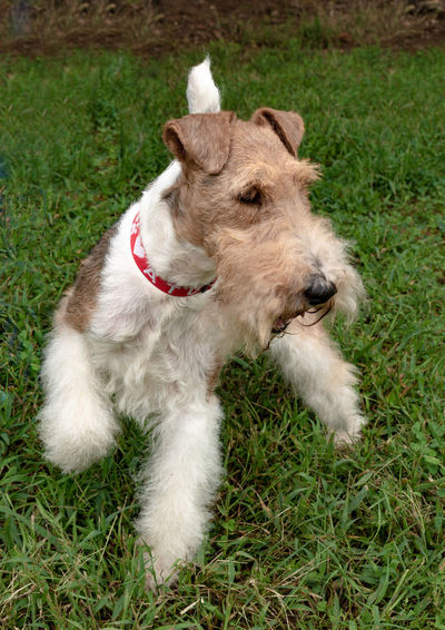 Max the terrier Show Dog Wire Fox Terrier Animal Animal Themes Canine Day Dog Domestic Domestic Animals Field Grand Champions Grass Green Color High Angle View Land Mammal Mouth Open Nature No People One Animal Pets Plant Terrier Vertebrate White Color