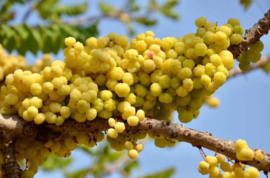 star gooseberry Star Gooseberry Growth Grape Fruit Yellow Low Angle View Day Agriculture Plant Freshness Beauty In Nature Close-up Vineyard Outdoors No People Food And Drink Nature Tree
