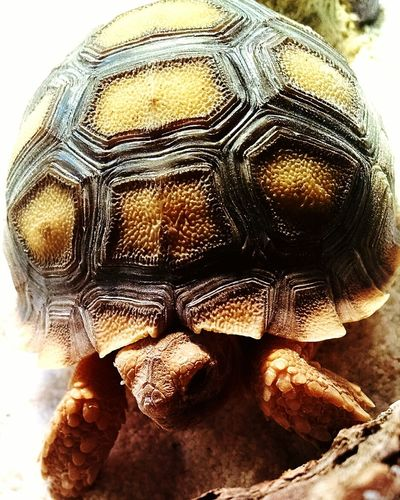 Tortoise Tortoiseshell Tortoiselife Cutenessoverload Taking Photos Capture The Moment Tortoisepose