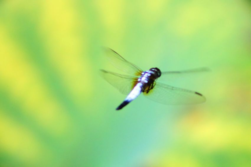 Animals In The Wild One Animal Animal Themes Wildlife Insect Flying Close-up Mid-air Selective Focus Focus On Foreground Zoology Dragonfly Animal Wing Plant Nature Growth Day Fragility Beauty In Nature Animal