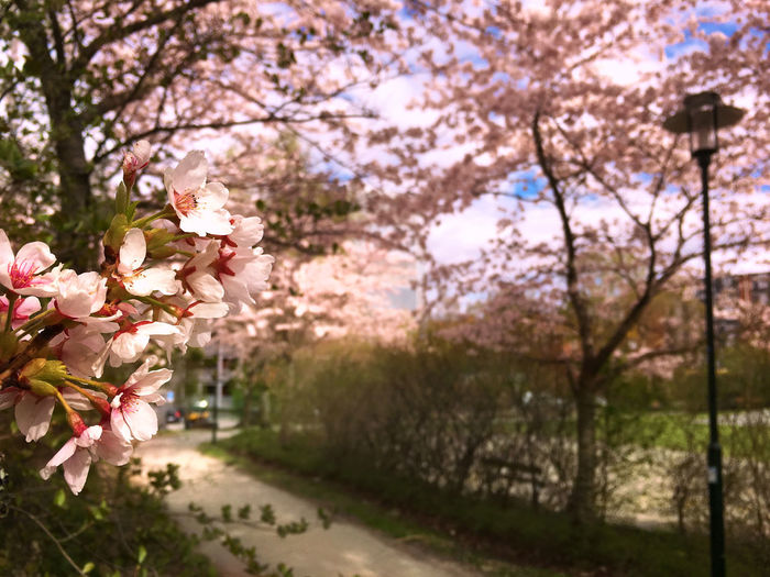 Springtime Plant Flower Tree Growth Beauty In Nature Blossom Pink Color Nature Cherry Blossom Park No People Outdoors EyeEm Best Shots EyeEm Nature Lover EyeEm Best Edits
