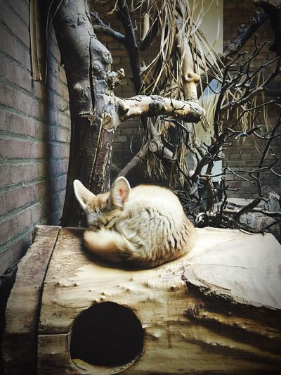 Artis Zoo Amsterdam Zoo Fennec Fennec Fox Fox Sleeping Artis