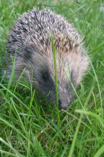 Cute little Hedgehog that visits my garden Check This Out Taking Photos Enjoying Life Nature On Your Doorstep Animals Lincoln Doddingtonpark