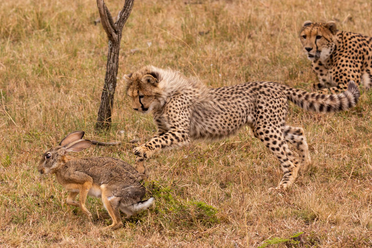 Cheetah cub playing with hare