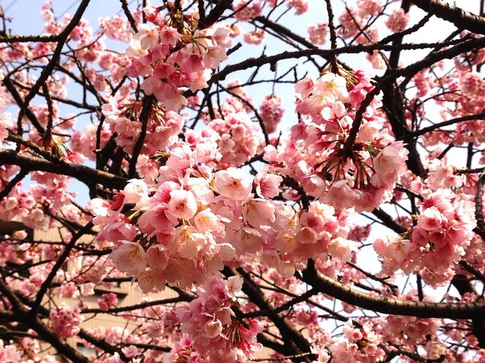Fireflower Cherry Blossoms Spring spring flower 🌸