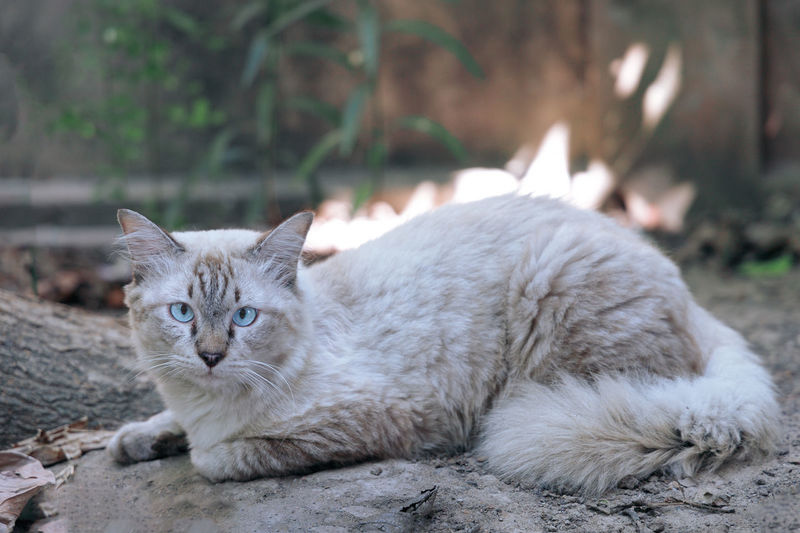 Portrait of cat relaxing outdoors