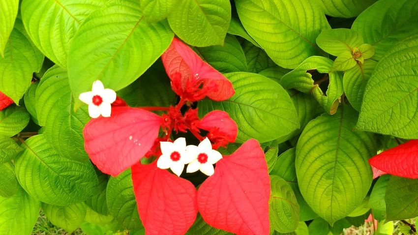 Flower Leaf Petal Red Plant Green Color Nature Beauty In Nature Growth No People Flower Head Freshness Close-up Outdoors Day Fragility