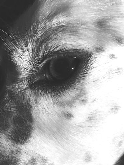 Dog Dog Love Dogs Setter Pet Pet Photography  Animals Animal Themes Animal Animal Photography Animal Head  Blackandwhite Black And White Black & White Detail Eye Dog Eye