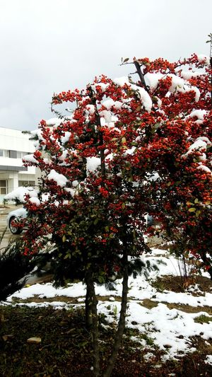 Pyracantha Coccinea Tree Nature Red Outdoors Growth No People Day Sky Beauty In Nature Freshness Close-up Snow ❄ Akçaabat Trabzon Turkey Nofilter EyeEmNewHere WeekOnEyeEm