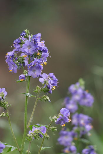 Polemonium / Jakobsleiter Wiesenblume Beauty In Nature Polemonium Jakobsleiter Flower Head Flower Summer Purple Closing Blossom Beauty Close-up Plant Sky Wildflower Uncultivated In Bloom Plant Life Botany Blooming Flowering Plant