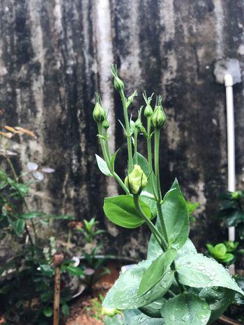 洋桔梗 Plant Growth Leaf Plant Part Green Color Nature Focus On Foreground Beauty In Nature Close-up Outdoors EyeEmNewHere Summer Exploratorium