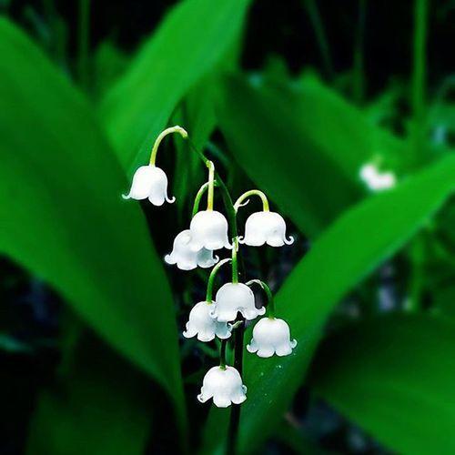 фотонаприроде фотографиявлесу ландыши цветы Лес Flowers Green Forest Photo Nature Asuszenfoneselfie
