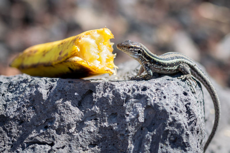 Gallotia galloti palmae eating banana on volcanic rock, male lizard has blue color under neck