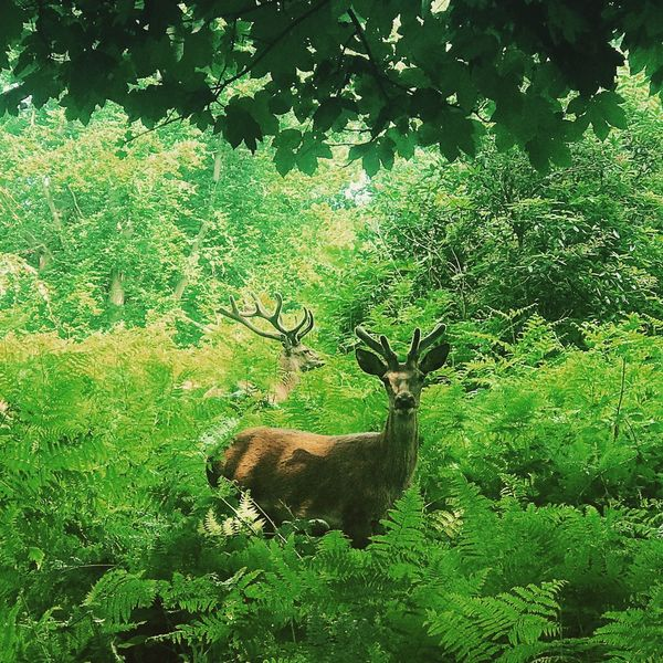 The Great Outdoors - 2017 EyeEm Awards Deer Animals In The Wild Tree Nature Animal Wildlife Green Color Mammal Antler Animal Themes Stag Growth Forest Plant Sunny Day Travel Travel Photography Royalpark Londonpark Richmond Park, London OutdoorssDayyGrasss