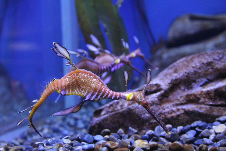 Close-up of sea dragons in aquarium