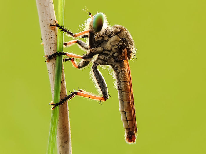robberfly on
