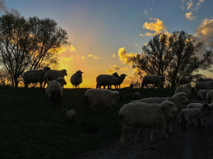 Domestic Animals Animal Themes Mammal Livestock Outdoors Sunset Flock Of Sheep Sheep Golden Hour Silhoutte Germany German Countryside German Countryside