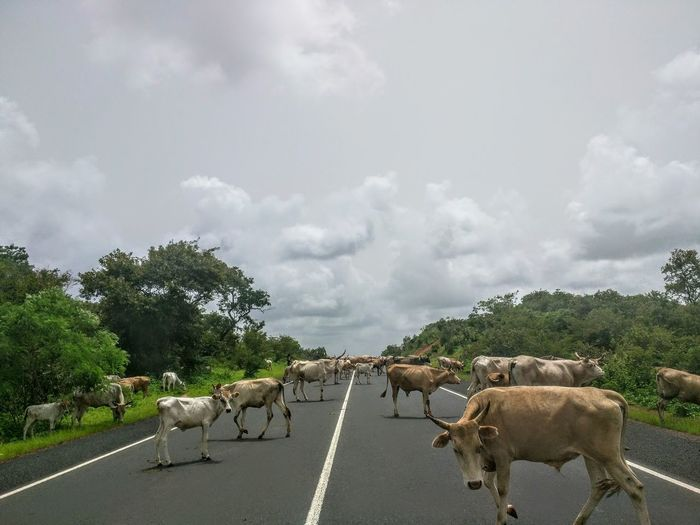 Gambian cows Gambia, Africa Travel Adventure Backpacking Cows Animal Mammal Animal Themes Cloud - Sky Large Group Of Animals Rural Scene Domestic Animals