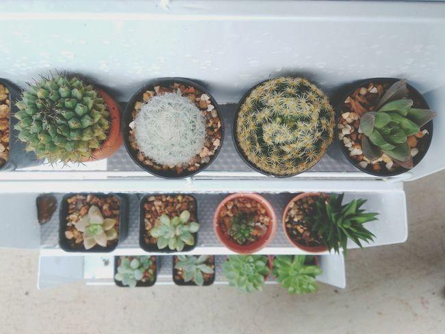 Cactus Garden Cactus Cactus Collection Garden Flower Pot Pot Nature