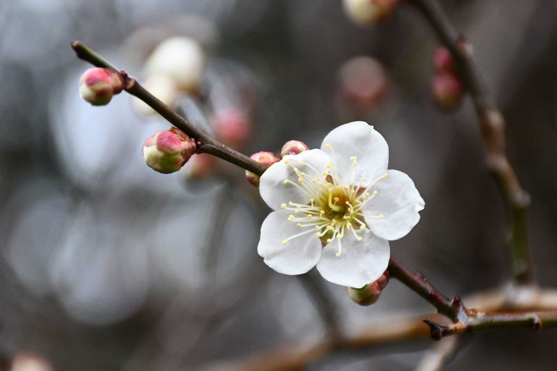 Japanese Plum Blossom EyeEm Selects Plant Flower Flowering Plant Beauty In Nature Fragility Vulnerability  Blossom Flower Head Pollen Close-up Branch Freshness White Color Nature
