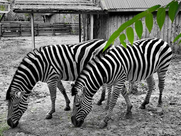 Zebra Animals In The Wild Animal Themes Animal Wildlife Outdoors Mammal No People Animal Markings Day Nature Safari Animals Zebra Zebra Stripes Zebra♥