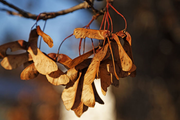 Close-up of dry leaves hanging on twig