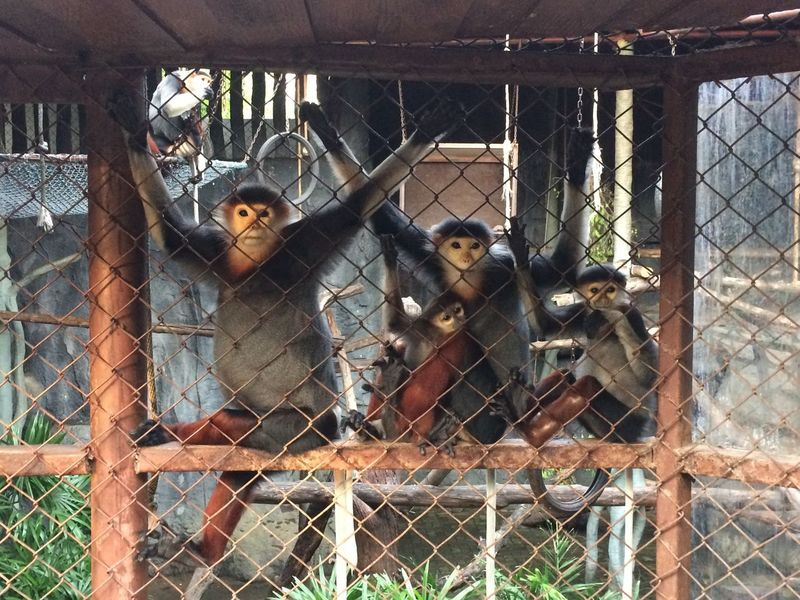 Red Shanked Douc Animals In Captivity Animal Themes Zoo Chainlink Fence Monkey Cage Animal Wildlife Metal Mammal Day Animals In The Wild Safety Outdoors Protection No People Nature Prison