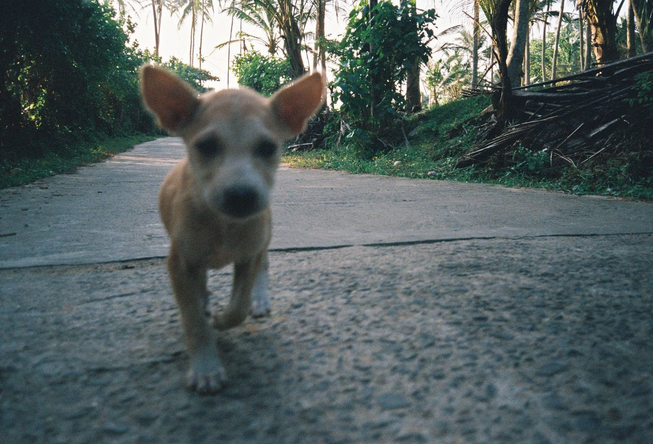 one animal, animal themes, domestic animals, pets, dog, tree, mammal, day, outdoors, looking at camera, standing, no people, road, nature, portrait, close-up