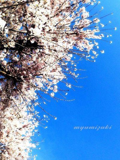 見上げた…春…♡ Spring2015