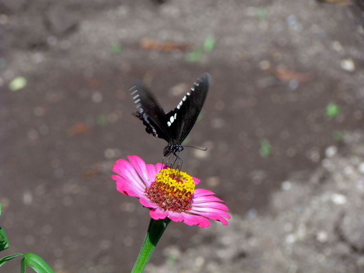 Black Butterfly Butterfly Butterfly Collection Butterfly Macro Butterfly On Flower Flower With Butterfly Insect Collection Insect Photography Insects  Photography In Motion