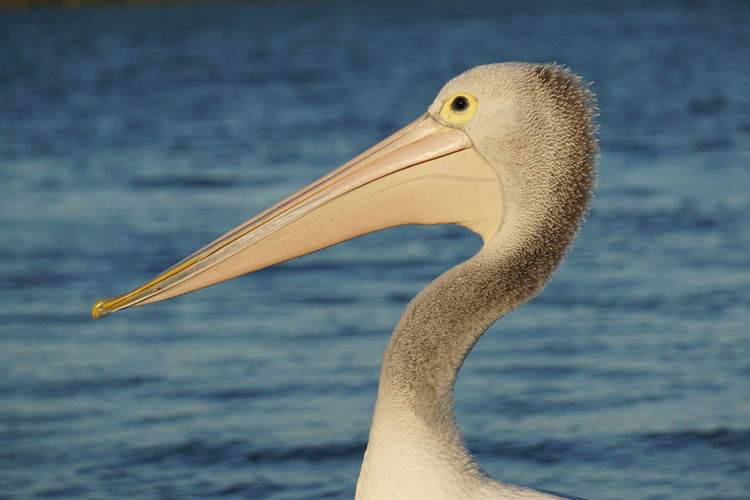 Pelican by the