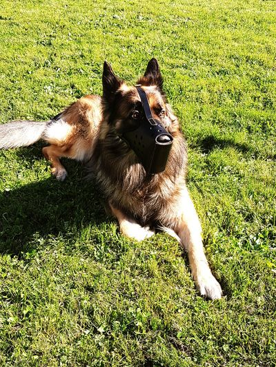 Hanging Out Check This Out Guard Dog Security Dog Summertime German Shepherd