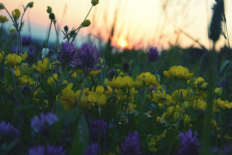 Flowers blooming on field during sunset