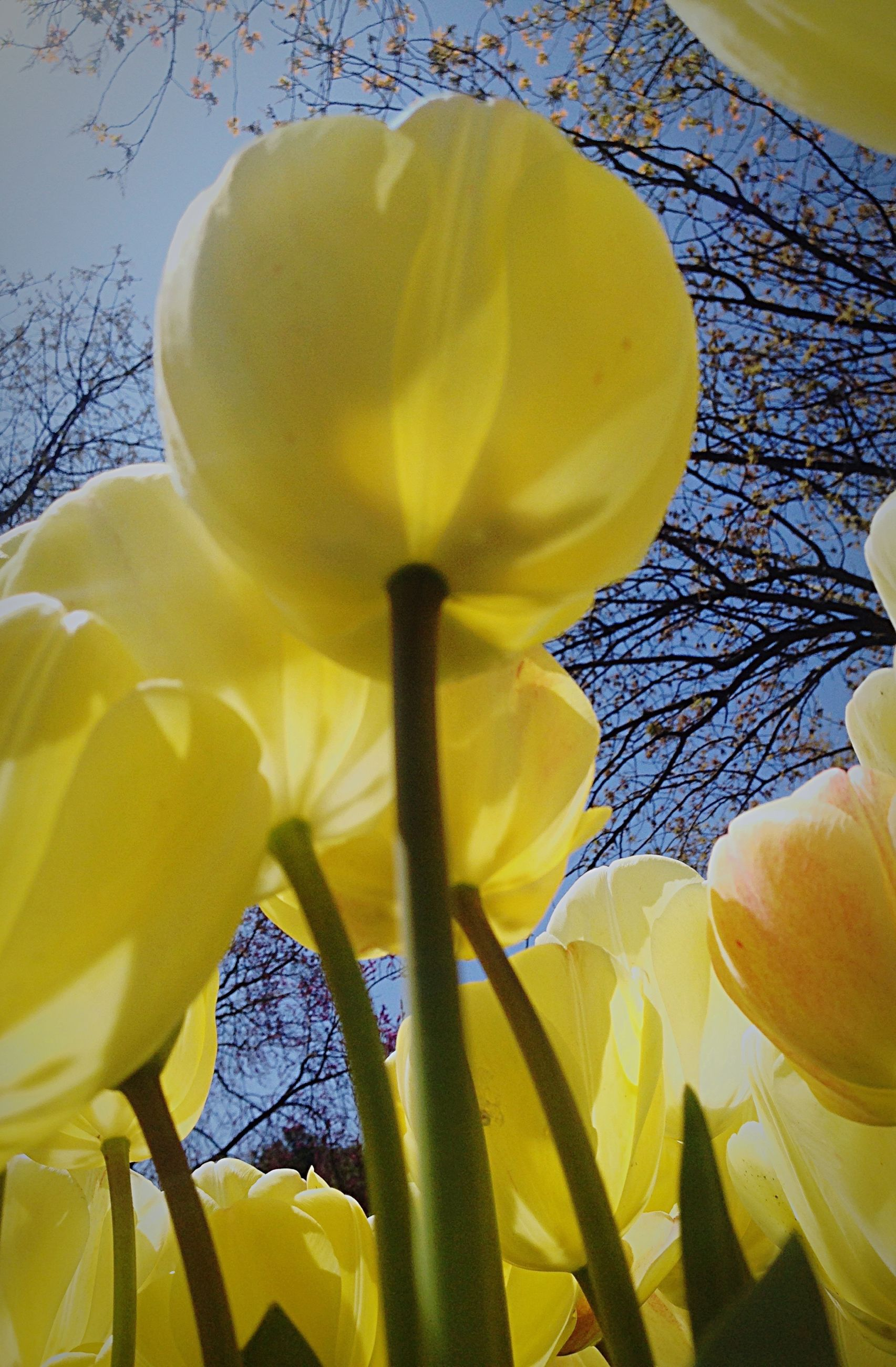 flower, petal, yellow, flower head, freshness, fragility, beauty in nature, growth, nature, close-up, blooming, tulip, single flower, plant, in bloom, stamen, white color, no people, blossom, sunlight