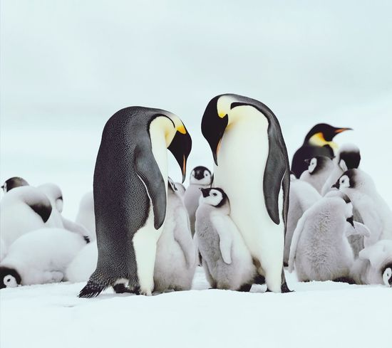 EyeEm Selects Bird Snow Cold Temperature Winter Colony Representing Penguin Togetherness Group Of Animals City Medium Group Of Animals
