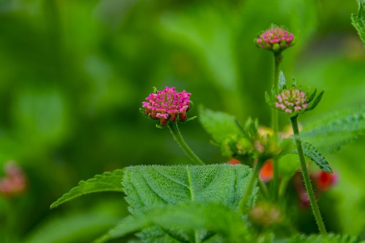 Plant Flower Flowering Plant Beauty In Nature Nature Green Color Pink Color Close-up Plant Part Freshness Leaf Vegetable Growth Outdoors Fragility Selective Focus Focus On Foreground Green Color Flower Head